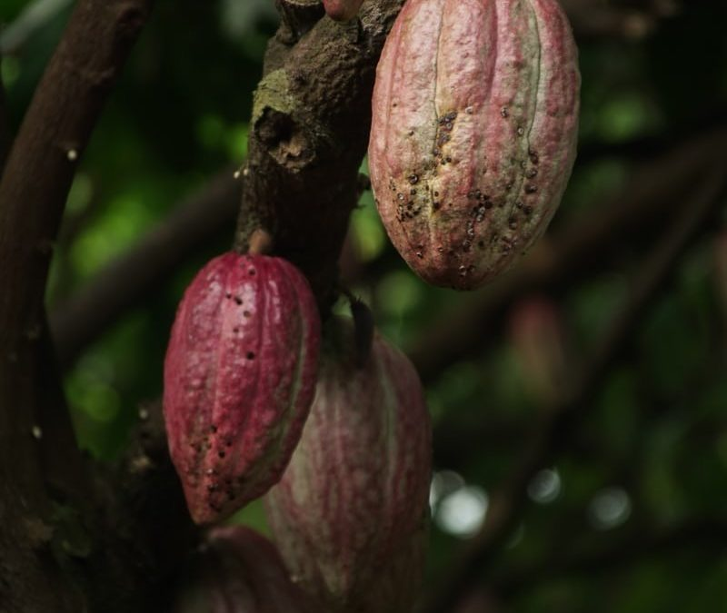 Cocoa Farming: Overview of the Industry's Dreadful Obstacles
